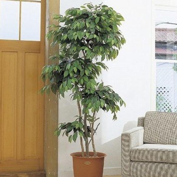 人工観葉植物 ピュアメイト フィカス・ベンジャミン 180cm 送料無料( 光触媒 消臭 インテリア 大型 )