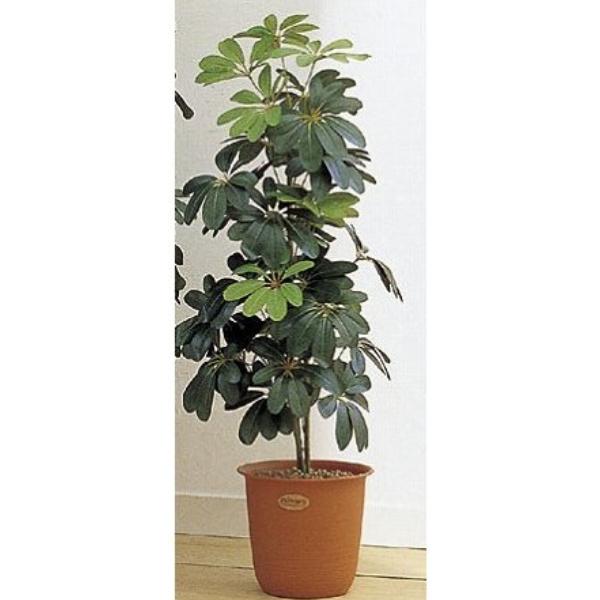 人工観葉植物 ピュアメイト カポック 150cm 送料無料( 光触媒 消臭 インテリア 大型 )