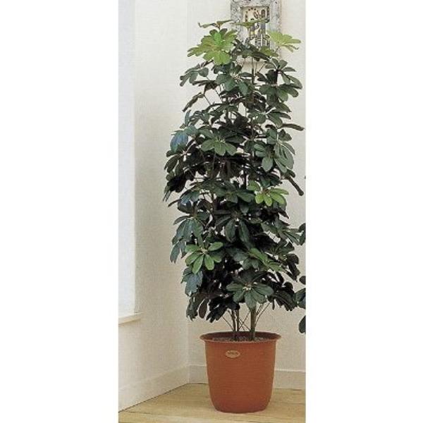 人工観葉植物 ピュアメイト カポック 180cm 送料無料( 光触媒 消臭 インテリア 大型 )