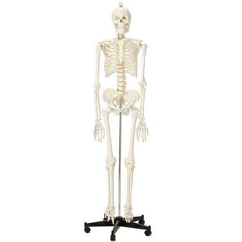 等身大骨格模型QS10/1(SR-303) ドイツ・ソムソ社製 成人男性のプラスチック製等身大骨格模型!!【smtb-s】