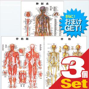 (さらに選べるおまけGET)(検査)医道の日本社 人体解剖学チャート骨格筋 ポスター 3枚セット(骨格筋・骨格・神経図) パネルなし - 縦86×横62cm 表面仕上げはラミネート加工。【smtb-s】