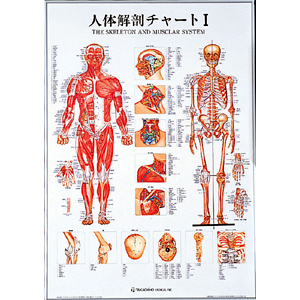 人体解剖チャートI(SR-111)【smtb-s】