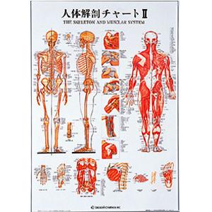 人体解剖チャートII(SR-112)【smtb-s】