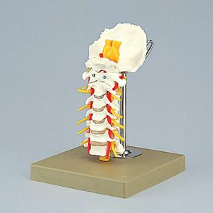 頸椎模型(SR-301) ドイツ・ソムソ社製【smtb-s】