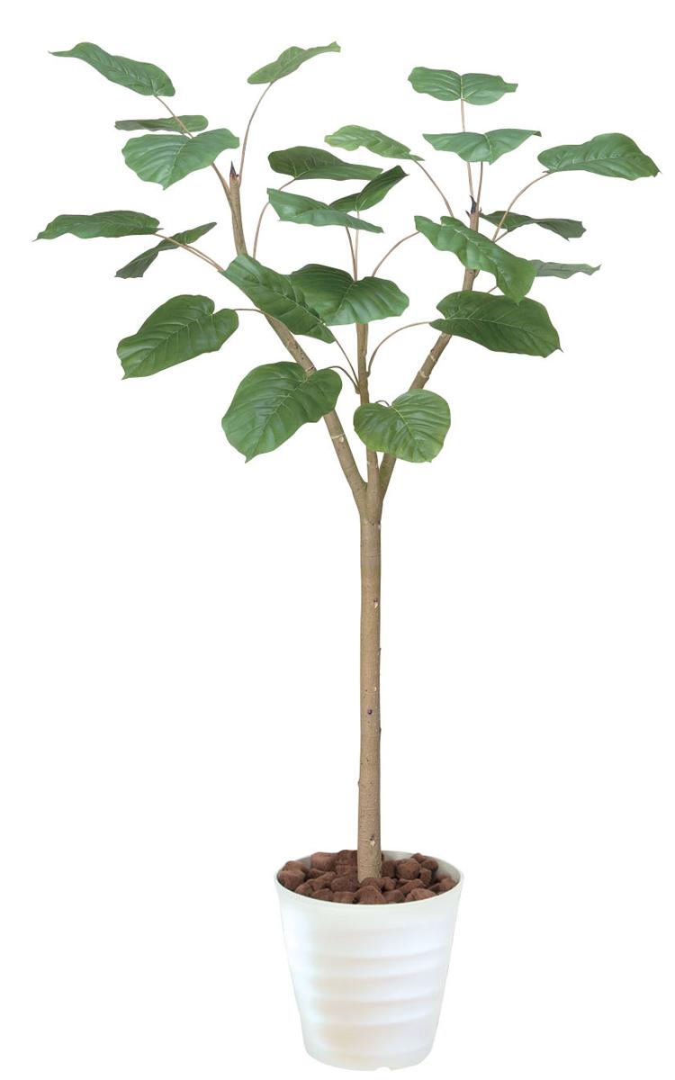 ウンベラータ 観葉植物 155cm インテリア 送料無料 C3401-250