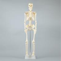 【20日限定クーポン配布中】人体模型 全身 骨 人体骨格模型 85cm スタンド付 おもちゃ 観察 理科 夏休み 宿題 自由研究 学校教材 学習教材