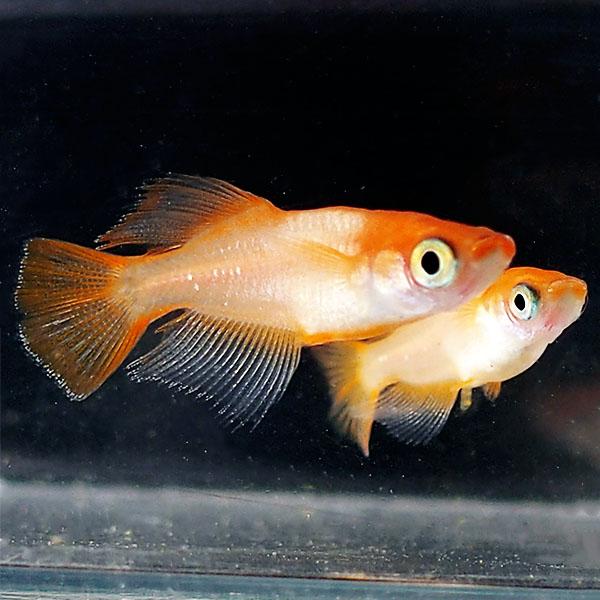 ランキングTOP5 メダカ 紅帝ヒカリ 楊貴妃めだか 未選別 稚魚 SS~Sサイズ ヒカリ 新生活 5匹セット ホタル 紅 赤 淡水魚