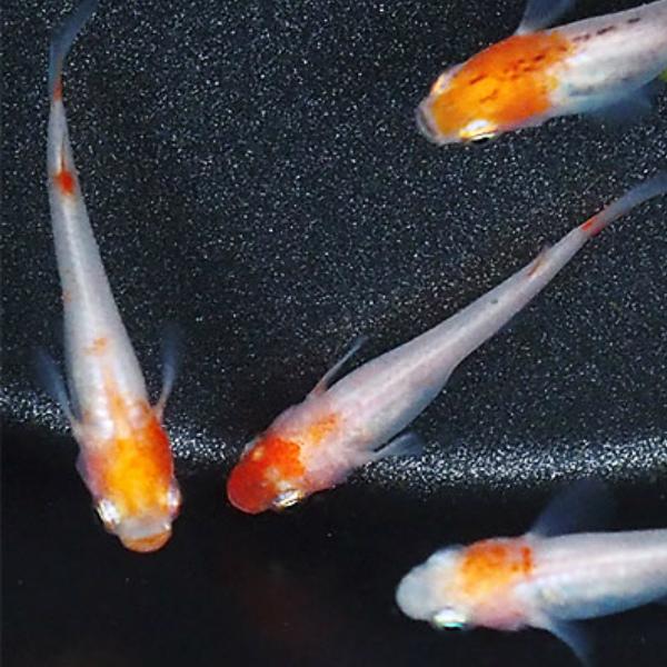 メダカ デポー 紅白めだか 未選別 稚魚 SS~Sサイズ 5匹セット 紅白 ファッション通販 淡水魚 丹頂 透明鱗 更紗