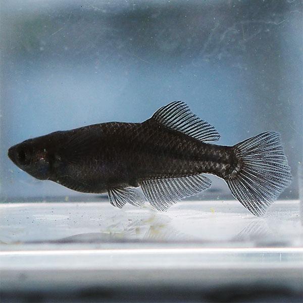 (メダカ) オロチヒカリめだか 未選別 稚魚(SS~Sサイズ) 10匹セット 漆黒 黒 ブラック パンダ ヒカリ ホタルメダカ 淡水魚