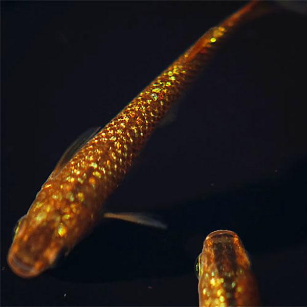 メダカ 琥珀ラメ(虹色)みゆき(幹之)めだか 未選別 稚魚(SS~Sサイズ) 5匹セット 琥珀 ラメ 虹色 幹之 ミユキ メダカ 淡水魚