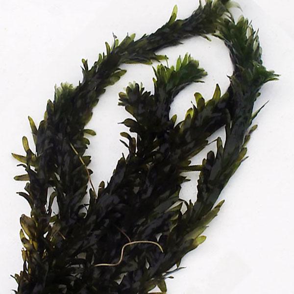 (水草) アナカリス 10株セット 金魚藻 水草 水槽 鉢 メダカ アクアリウム