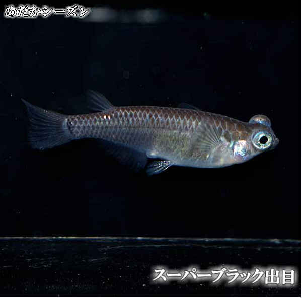 メダカ 売り込み スーパーブラック出目めだか 推奨 未選別 稚魚 SS~Sサイズ 出目 10匹セット 黒 ブラック 淡水魚