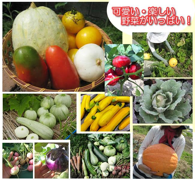 威玛番茄和集市杂种 F1