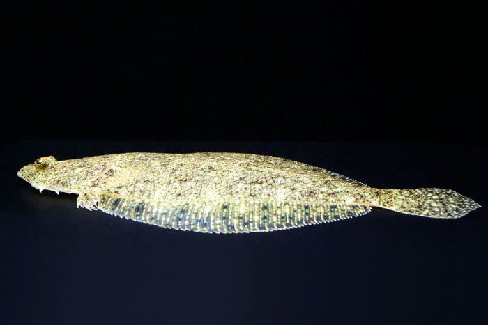 South American freshwater flounder Colombia flights, around 8-9 cm.""