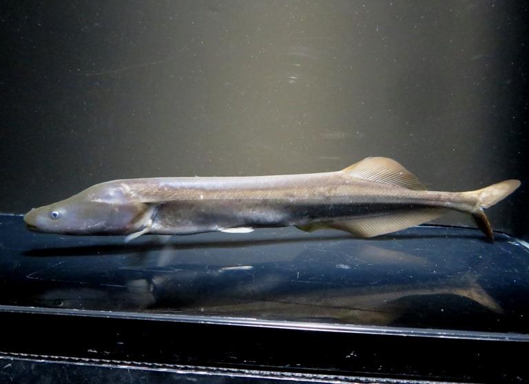 【送料無料】B個体 モルミロプス コニッシュ ジャック コンゴ便 《22cm前後》