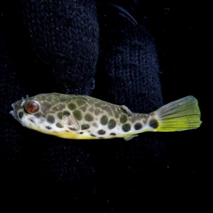 【送料無料】C個体 テトラオドン ショウテデニー (Tetraodon schoutedeni) ワイルド コンゴ 《6cm前後》