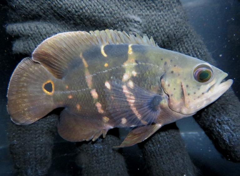 【送料無料】B個体 ワイルドオスカー クラシピンニス(ブラジル アラグアイア河)《12cm前後》