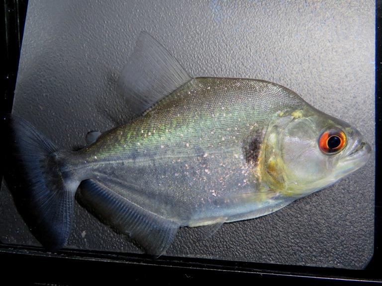 【送料無料】C個体 バイオレット ブラックピラニア (ブラジル シングー河産)《13cm前後》