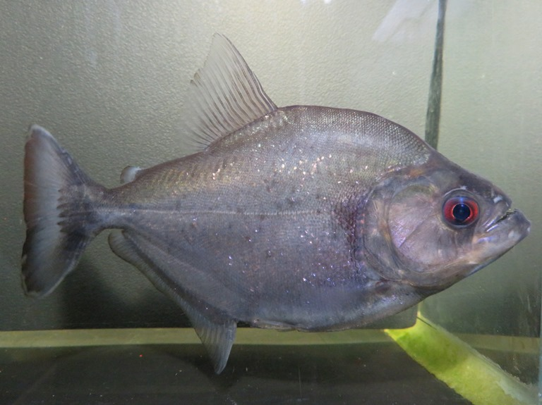【送料無料】E個体 バイオレット ブラックピラニア(ブラジル シングー河産)《19cm前後》