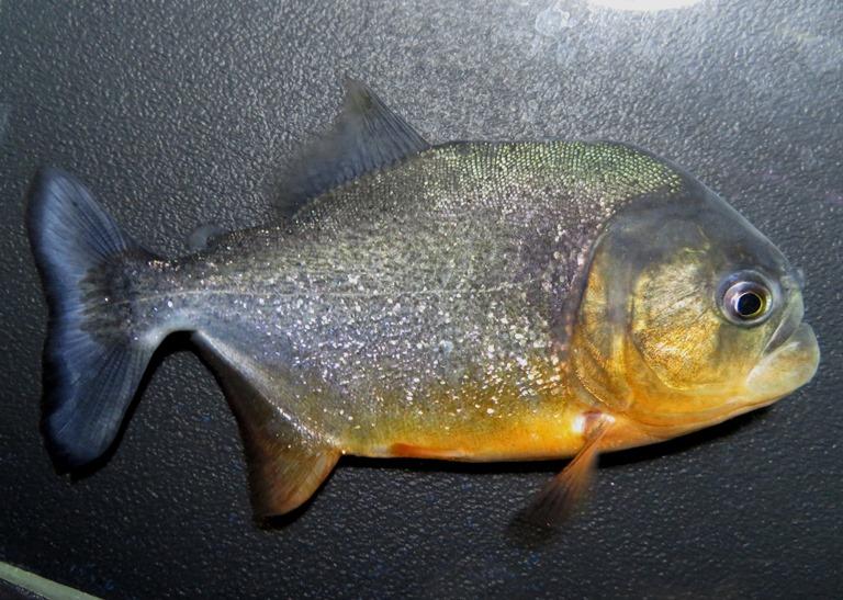 【送料無料】B個体 ピラニア ナッテリー(ブラジル マラニョン州トゥリアス河産)《14cm前後》