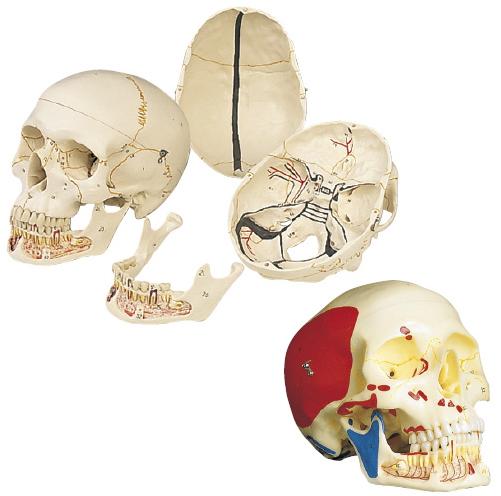 京都科学 頭蓋、下顎開放型、3分解モデル 11-2030-01