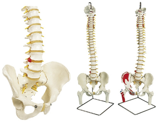 京都科学 脊柱可動モデル(標準型・大腿骨、筋・起始/停止表示付) 11-2040-06