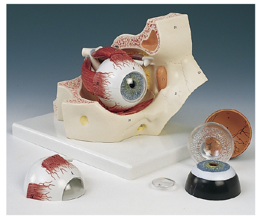 京都科学 視覚器(眼球)と眼窩7分解モデル 11-2110-00