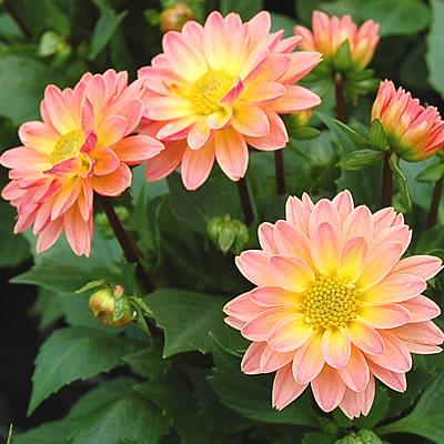 ☆ 笑脸大丽花桃系列 [小朝阳花园多年生的植物营养设置 2
