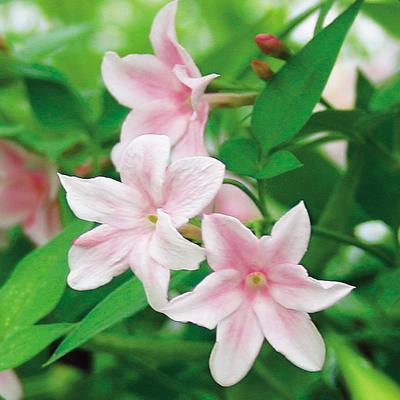 かわいい桃花品種 SALENEW大人気 安全 薫るジャスミン ステファネンセ1株
