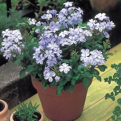 暑さ大好き 限定タイムセール 1位 ルリマツリ プルンバゴ 1株2色から選んでください 花苗 ガーデニング 花壇 花の苗 商い 庭植え
