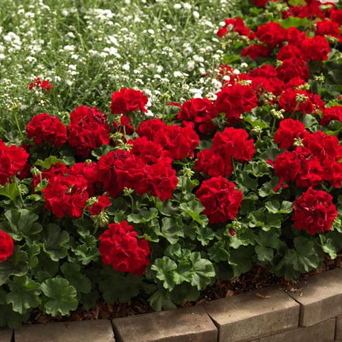 育てやすく 返品不可 大きな花が魅力的な 宿根草シンジェンタの栄養系 ゼラニウム 贈与 ゼラニューム カリオペ 1株 ディープレッド ダークレッド