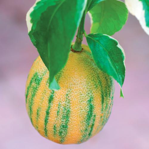 ピンク色のまろやかな味わい 果樹苗 手数料無料 柑橘 レモン 苗木 レモンの木 ピンクレモネード 6号鉢 植え替えなくてもそのままで育てられます 常緑樹 お値打ち価格で 柑橘類 果樹苗木 直径18cm