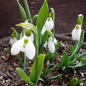 植えっぱなしでも雪の中からでも顔を出す スノードロップ ガランサス エルウェッシー 今だけ限定15%OFFクーポン発行中 5球パック秋植え 超安い 冬植え イングリッシュガーデン 春咲き 球根