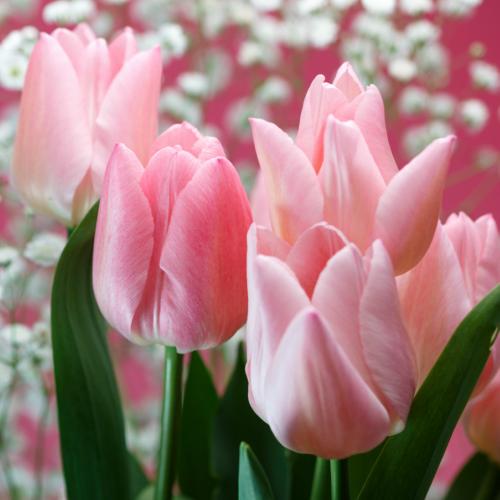 期間限定の激安セール チューリップ ピンクダイアモンド 一重咲き5球パック秋植え 冬植え 春咲き イングリッシュガーデン 球根 超定番
