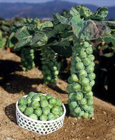優先配送 栄養満点の冬野菜 芽キャベツの苗3株セット 新色