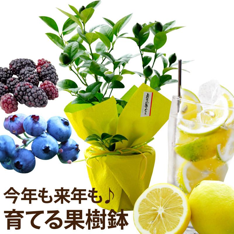 果樹 レモン ブルーベリー ブラックベリー