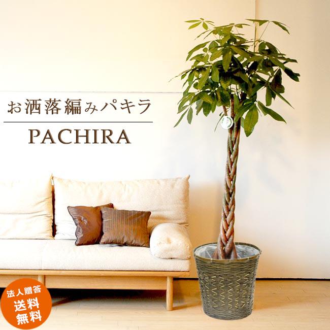 ≪スタンダード品≫ 大型10号パキラ 5本編み仕立て(藤の鉢カバーD付き) 送料無料 観葉植物 大型