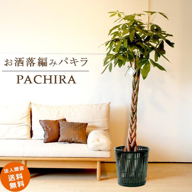 ≪スタンダード品≫ 大型10号パキラ 5本編み仕立て(竹の鉢カバーI付き) 送料無料 パキラ