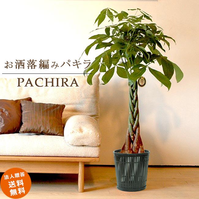 ≪スタンダード品≫ 中型8号パキラ 5本編み仕立て (竹の鉢カバーI付き) 送料無料