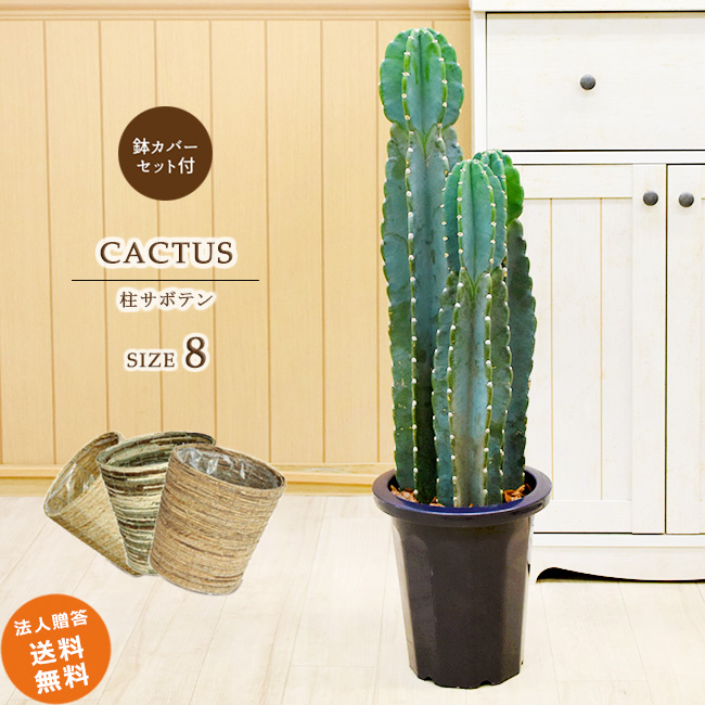 柱サボテン 3本立ち 中型8号(選べる鉢カバーA・B・C付き) 鉢カバーセット 観葉植物 おしゃれ 送料無料