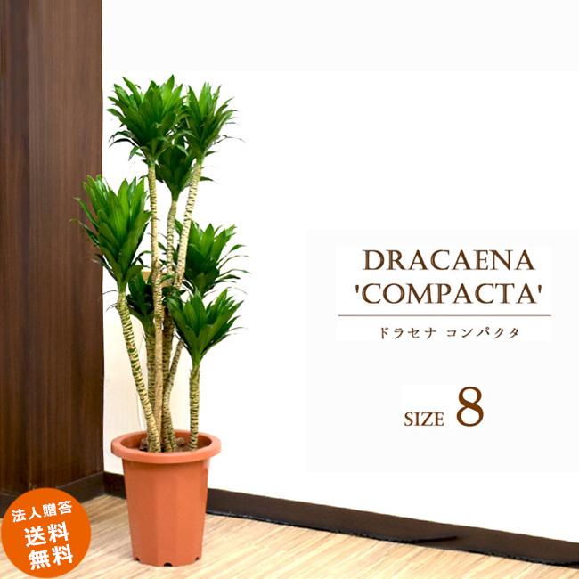 ドラセナ コンパクタ 8号 (鉢カバーなし)観葉植物 中型 おしゃれ インテリア ギフト 祝い 開店 誕生日 新築 プレゼント ラッピング