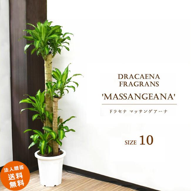 ドラセナ マッサン 10号 (鉢カバーなし)観葉植物 大型 おしゃれ インテリア ギフト 祝い 開店 誕生日 新築 プレゼント ラッピング