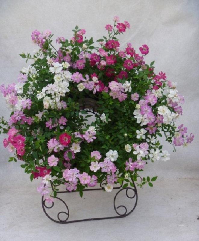 【母の日フラワーギフト】ウェルカムレンゲローズ 四季咲ミニバラ スタンド付