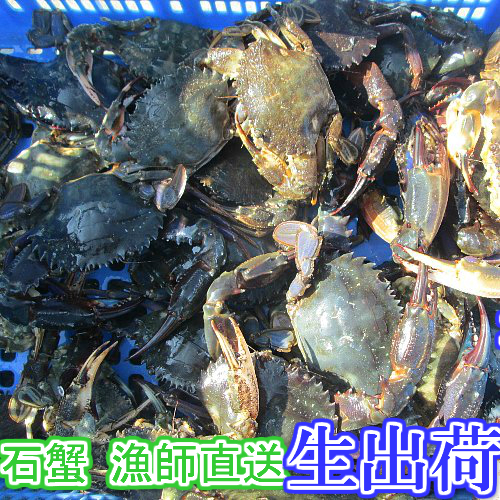 ミツハシグルメ北海道 生出荷!食用イシガニ 石蟹1kg〜 活状態での梱包 松島牡蠣屋 漁師の店長自ら漁獲です!目安:1kgで10杯程度