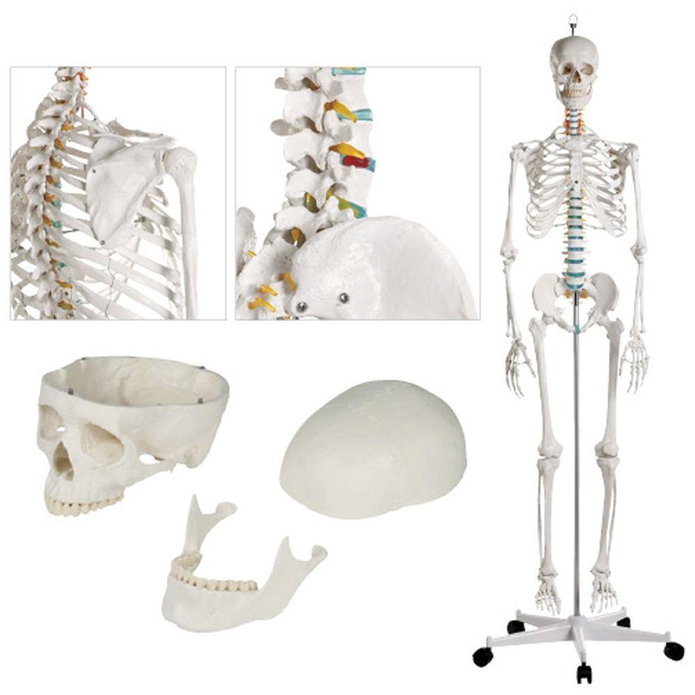 骨格モデル 2960 1個 松吉医科器械 24-5084-00