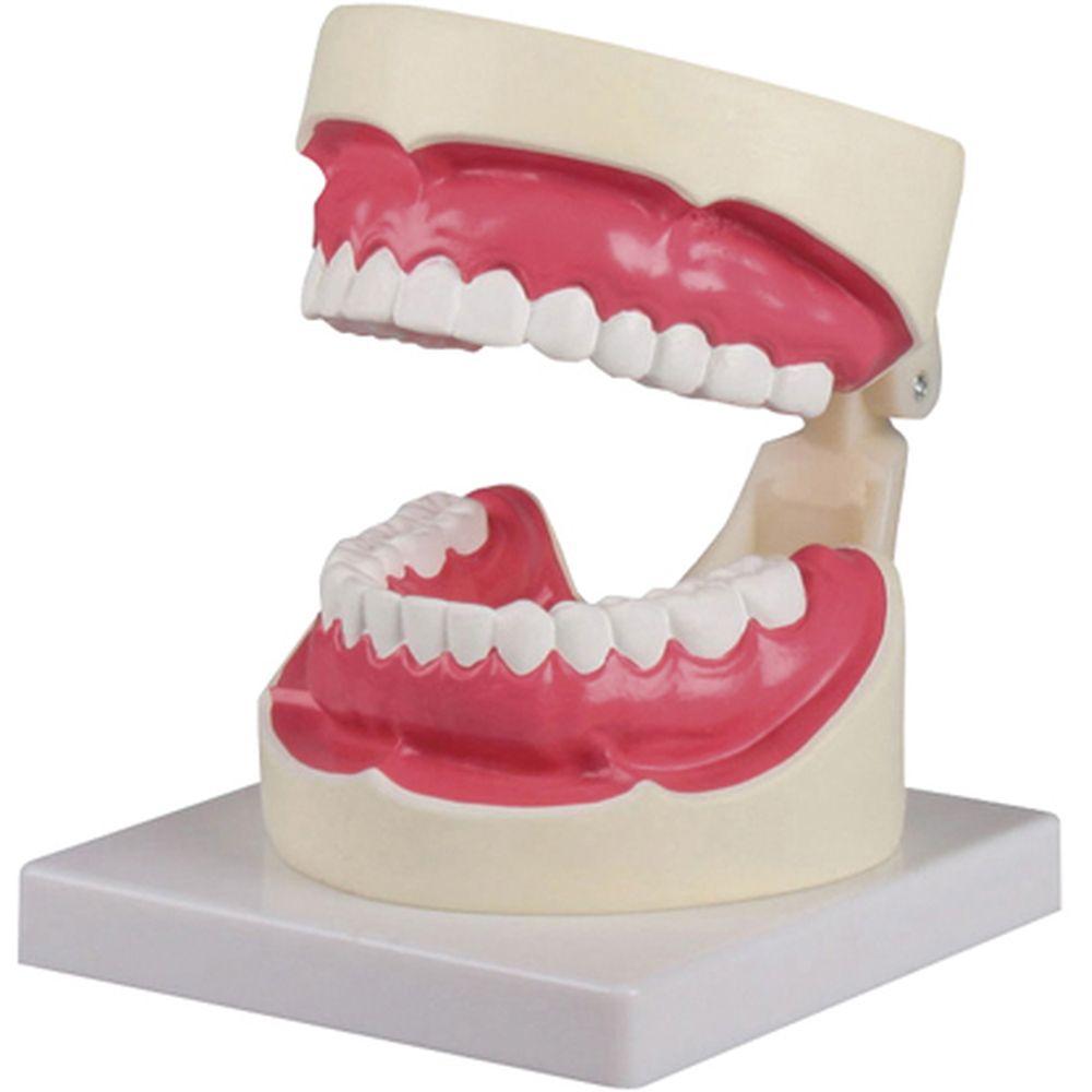 歯磨き(口腔ケア)指導模型1.5倍大 D217 1個 松吉医科器械 24-6839-00