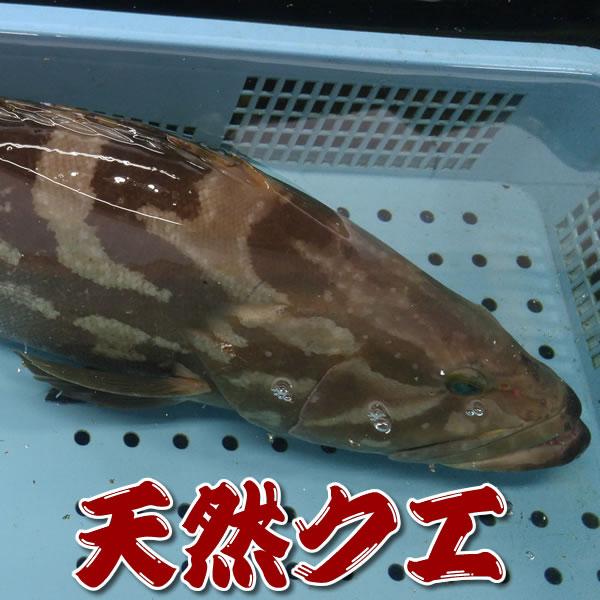 【送料無料】幻の高級魚 天然 活・クエ【活生】1尾 約4kg前後【浜坂産】 ※活かしてますので、発送直前に〆てお届け致します。(九絵、くえ、アラ、あら)