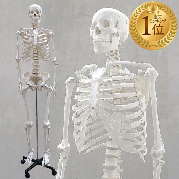 【1年保証】人体模型 約166cm 人体骨格模型 等身大の人体の骨格をリアルに表現!人体骨格模型 ヒューマンスカル 模型 人体模型 骨格標本 骨格モデル 整体 整骨院 おもちゃ リアル 小道具 おもちゃ[送料無料]