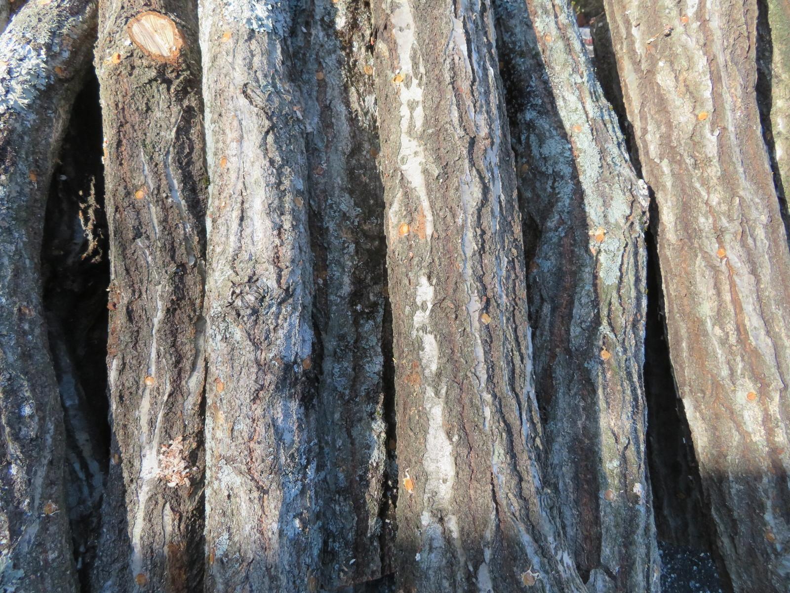 原木しいたけ植付済み ほだ木 5本セット