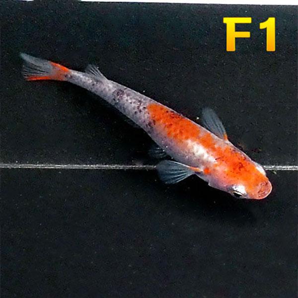 商い メダカ 紀州三色めだか F1 5匹セット 淡水魚 三色 定価 錦